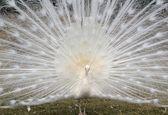 depositphotos_41418983-White-peacock-displaying-his-beauti